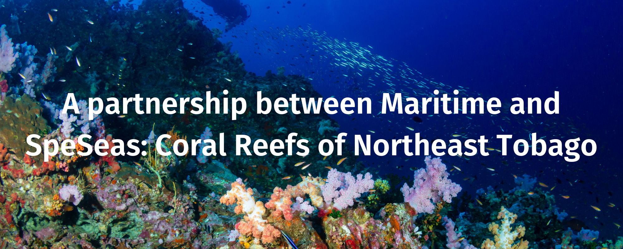 A partnership between Maritime and SpeSeas:  Coral Reefs of Northeast Tobago.
